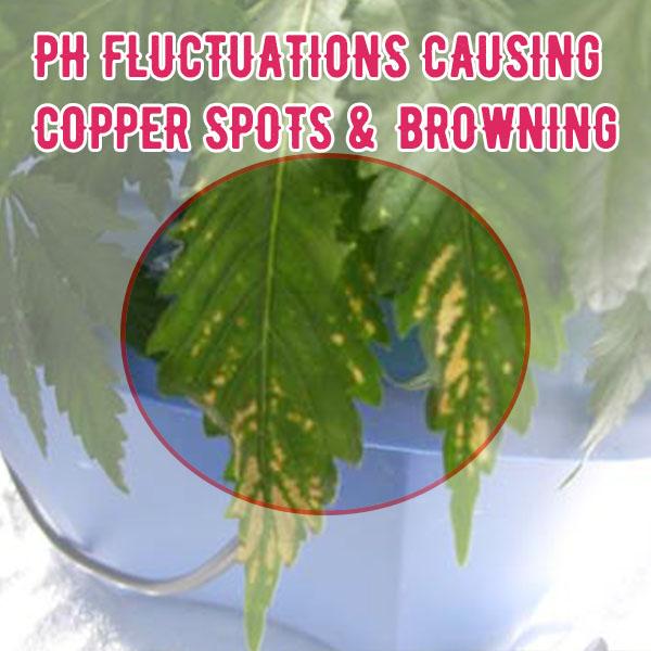Correct PH for cannabis plants, Ph up, Ph down, marijuana, weed